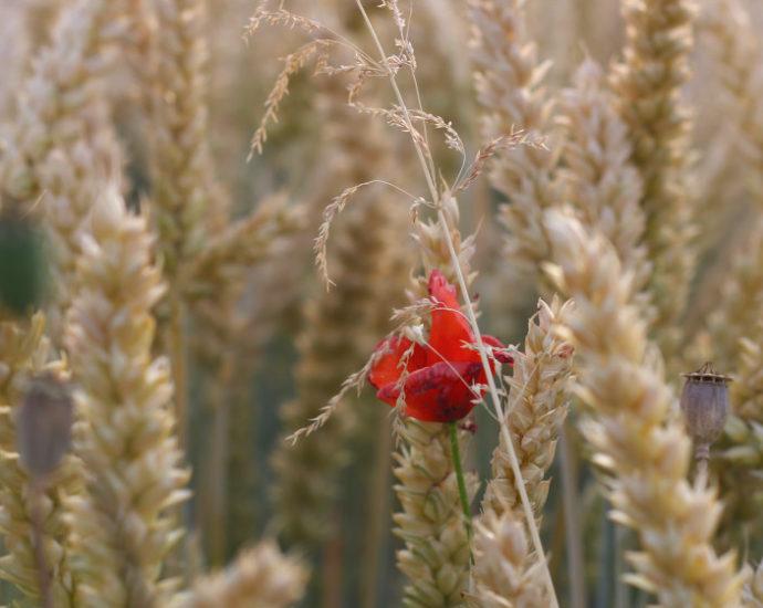 Glutenunverträglichkeit: Mohnblume im Getreidefeld
